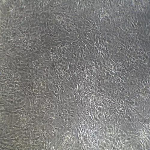 原代细胞分离实验