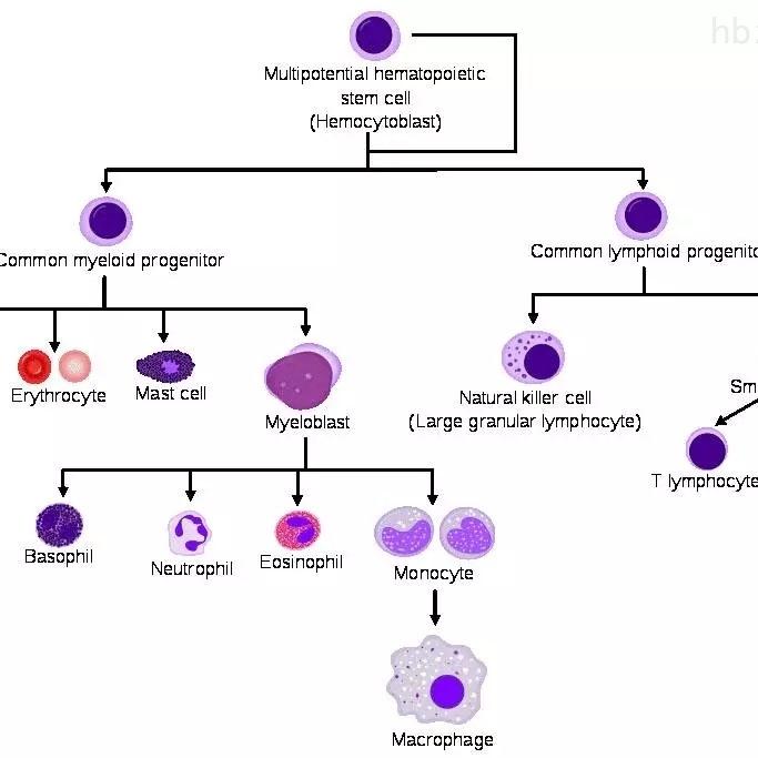 细胞诱导分化
