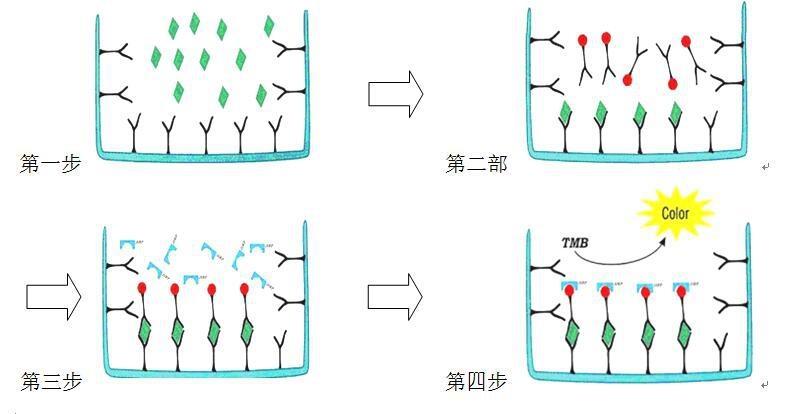 大鼠花生四烯酸5脂氧合酶ELISA检测试剂盒