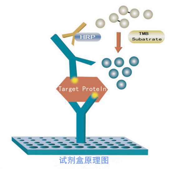 <strong>人α-辅肌动蛋白3ACTN-3ELISA试剂盒</strong>