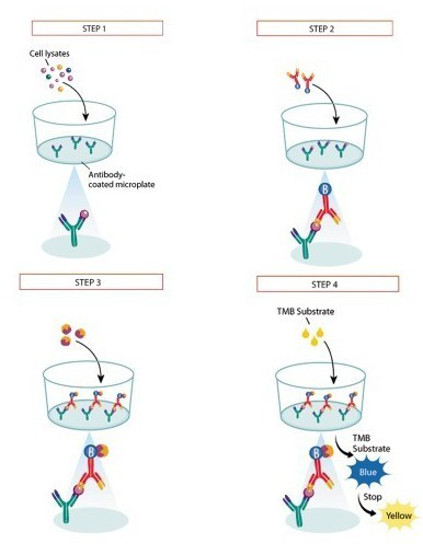 小鼠血管内皮细胞生长因子受体2检测试剂盒